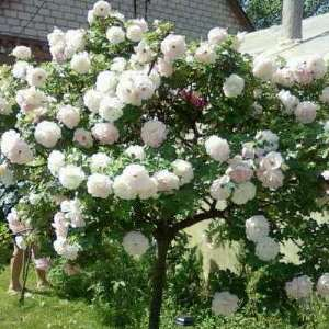 парковая роза фото сорта