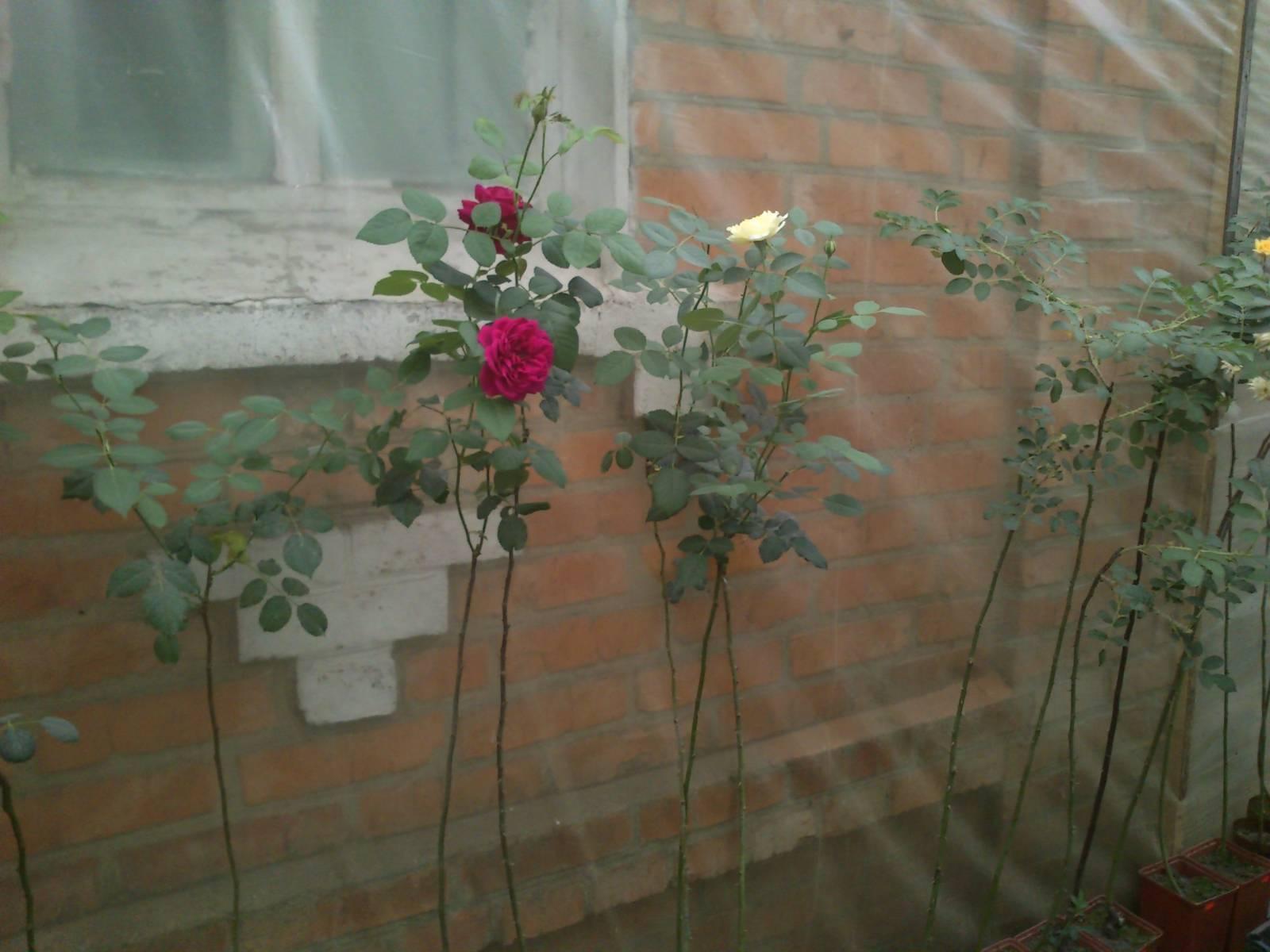 Как вырастить штамбовую розу своими руками